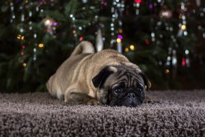 how remove dog hair from carpet