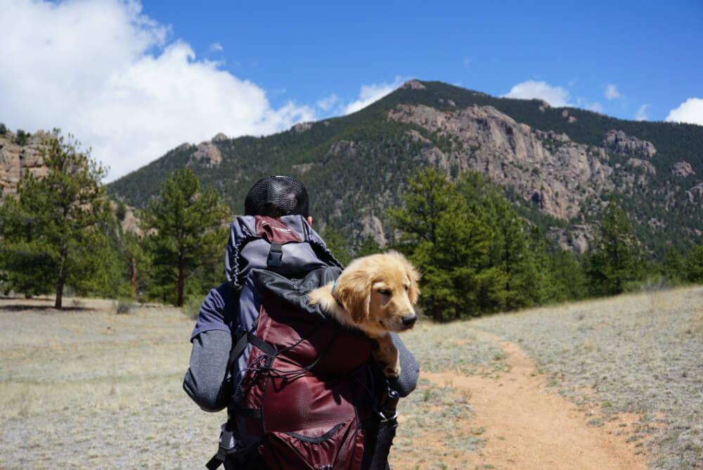person carrying yellow labrador retriever puppy inside bag